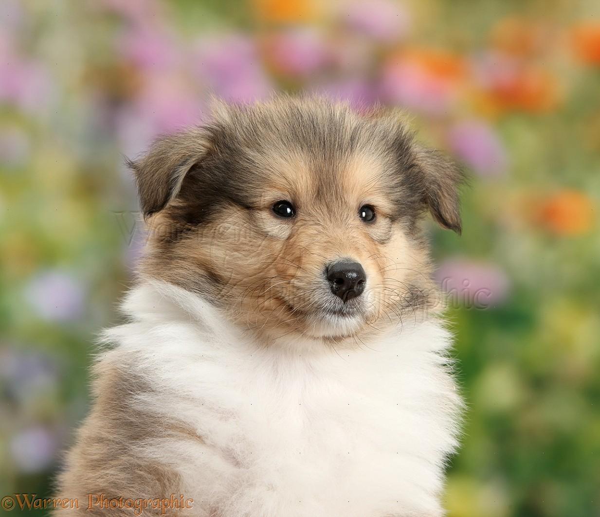 Rough Collie Puppies Sale