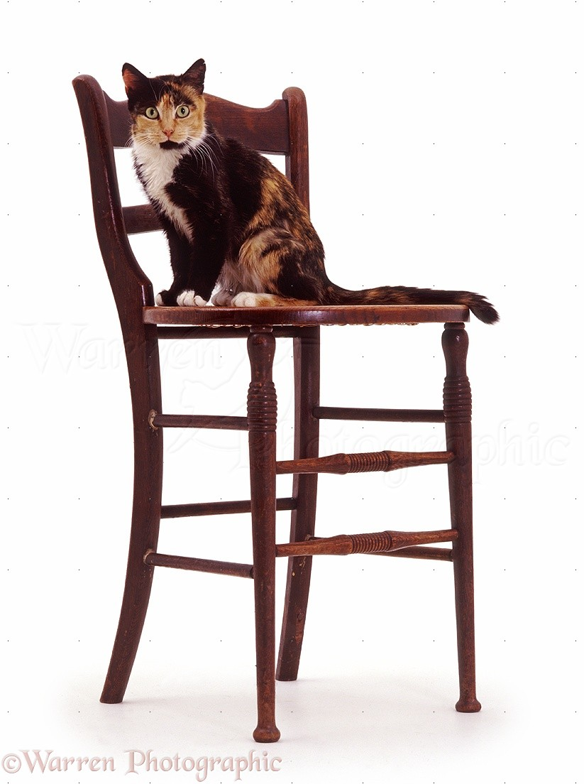 Tortoiseshell cat on a chair photo WP39109