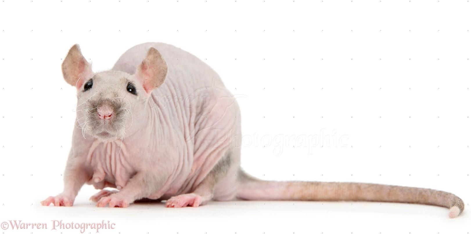 Sphynx Rat photo WP40156