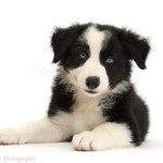 Dog Black And White Border Collie Pup Lying With Head Up Photo Wp44763