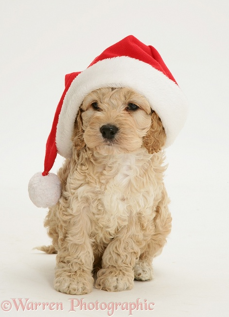 Cute Wallpaper With White Background Dog American Cockapoo Puppy Wearing A Santa Hat Photo Wp19991