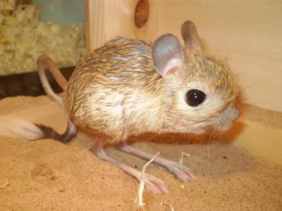 Lesser Jerboas   Exotic Mammals   Warrington Pets & Exotics