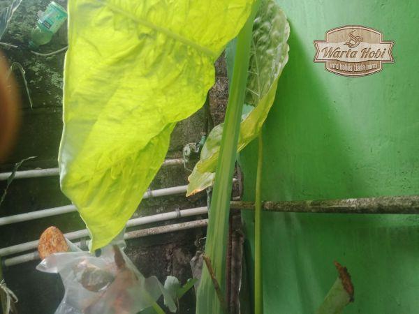 ciri batang tanaman lompong variegata