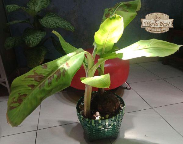 trend tanaman pisang variegata 2021