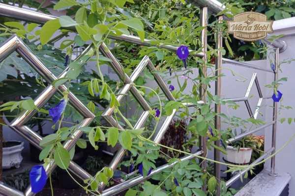 bunga telang milik ibu ita jongke jadi bahan pembuat teh biru