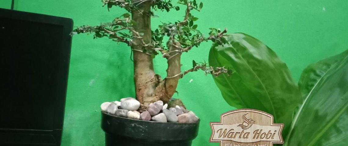 jual tanaman bonsai gunung kidul