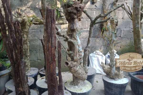 pohon kopi yang di cor semen untuk tanam anggrek
