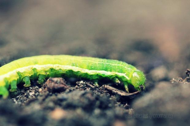 Raupenalarm im Garten | waseigenes.com