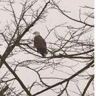 Bald eagle on Silver Lake