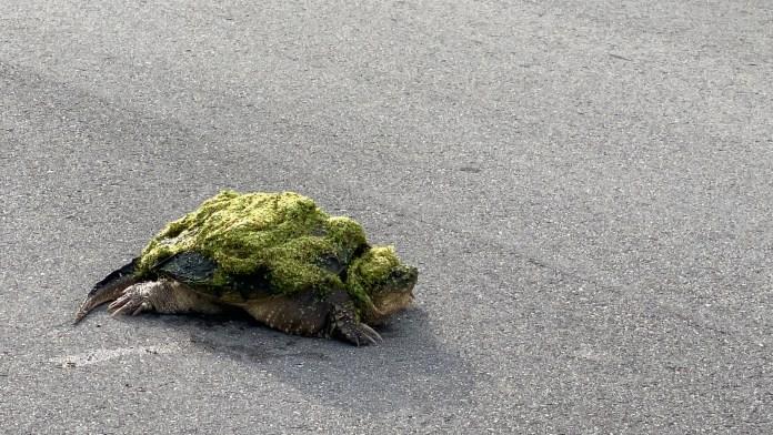 turtle algae trifecta