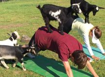 Goat Yoga Comes to DC This Summer