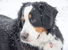 Bentley Berner and Reveille Are the Cutest Dogs in Washington images 1