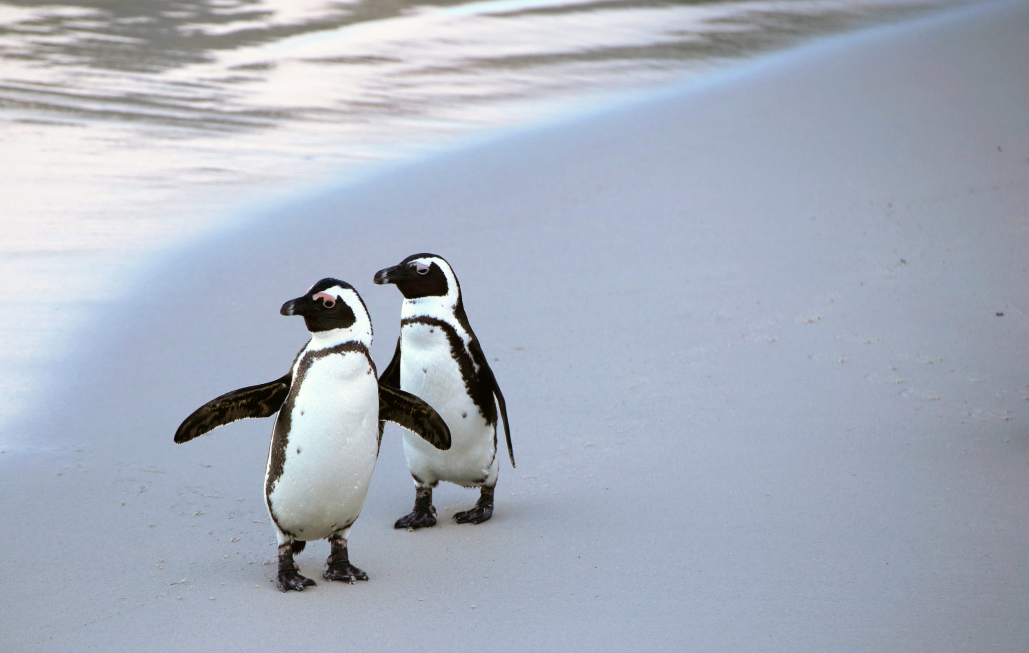 Penguin Monogamy Is A Lie And Other Things You Can Learn