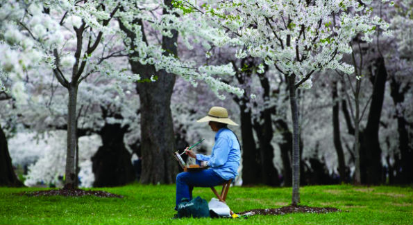 cherry blossoms credit nps