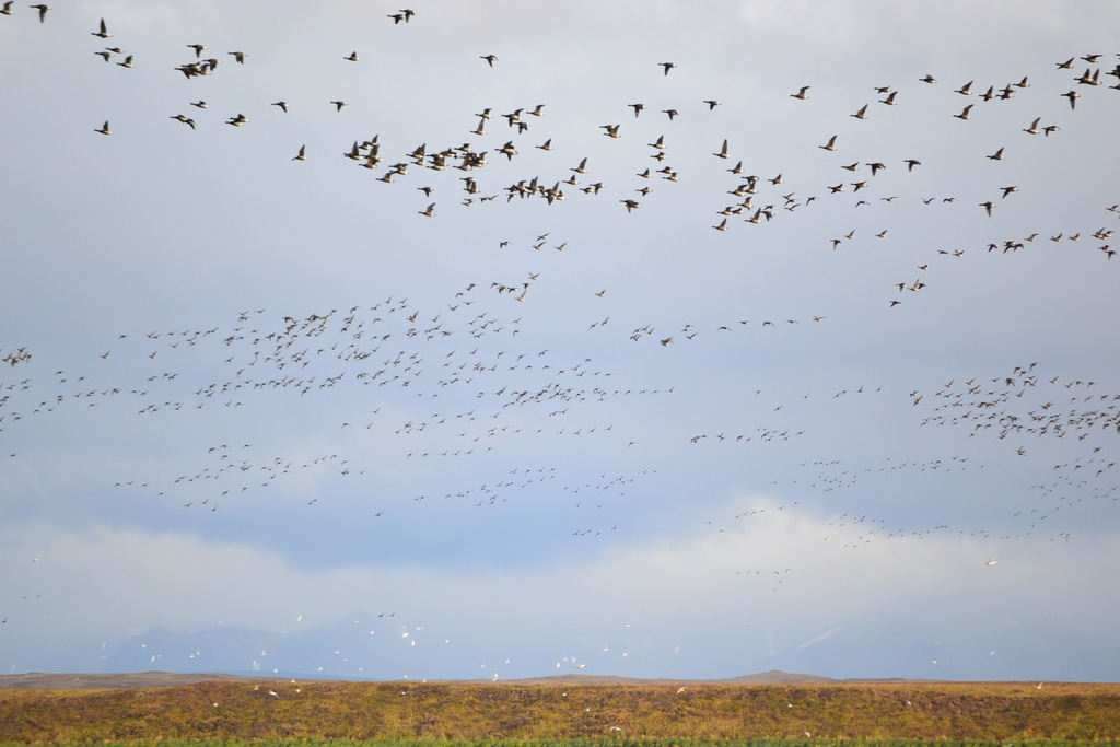 Black brant over Izembek Lagoon (Izembek National Wildlife Refuge). Photo by K.Mueller/USFWS