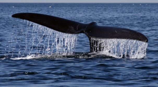 A right whale sounds in Cape Cod Bay. (Bill Greene/Boston Globe via Getty Images)