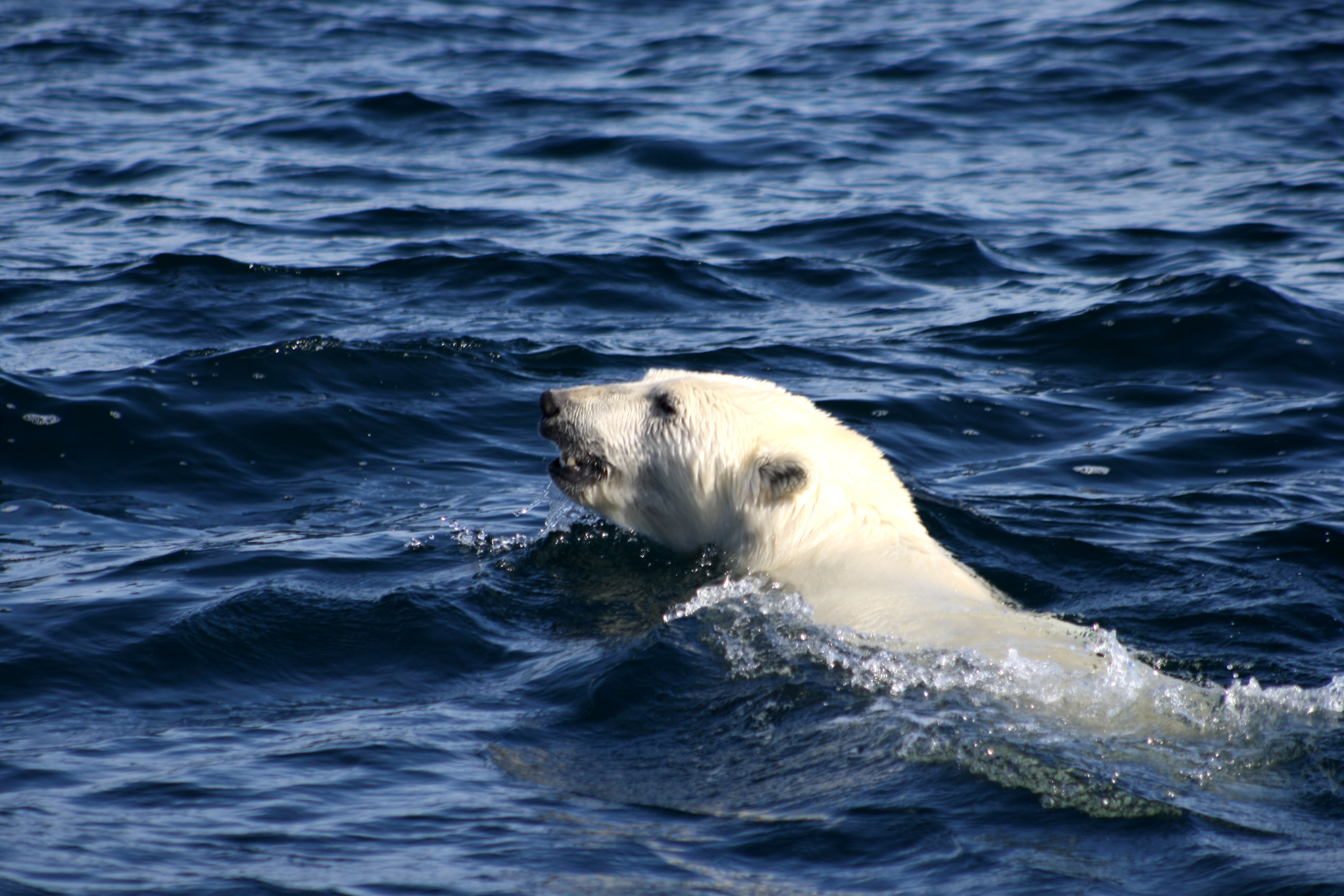 The Arctic Keeps Warming And Polar Bears Are Feeling The
