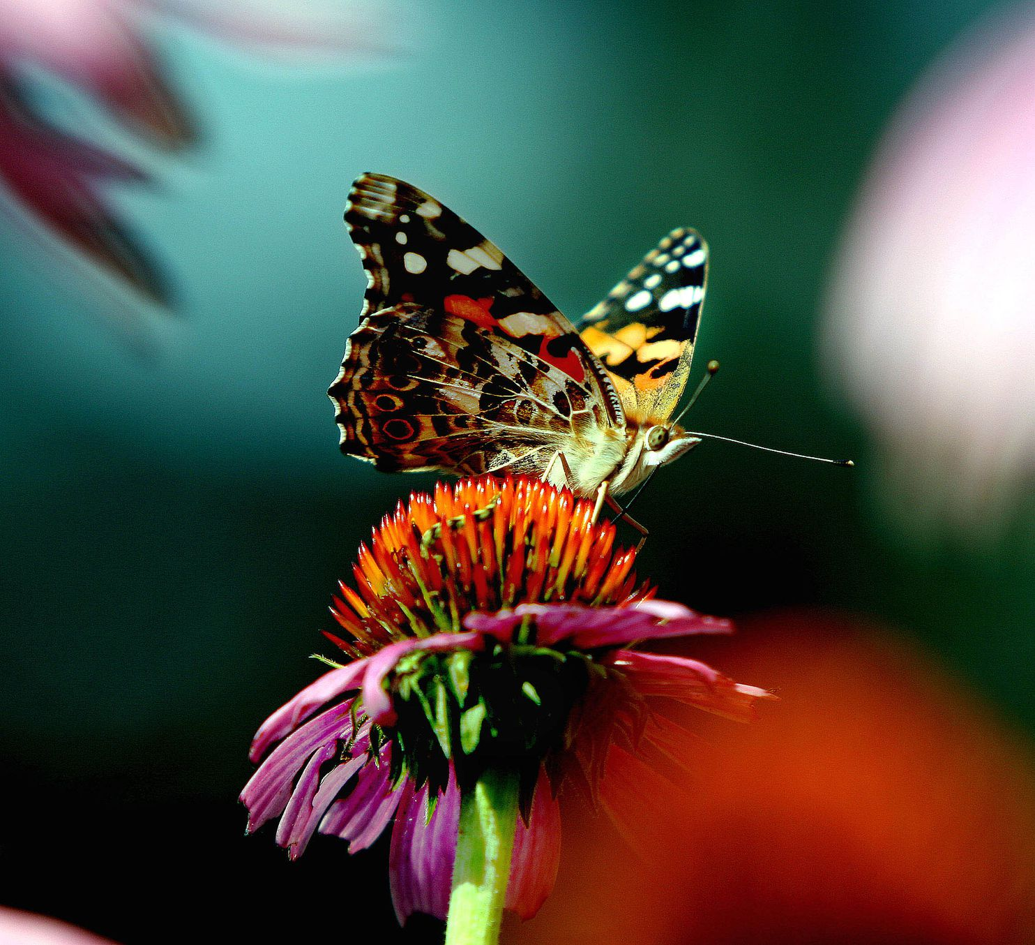 The 7 500 Mile Trek Of The Amazing Painted Lady Butterly