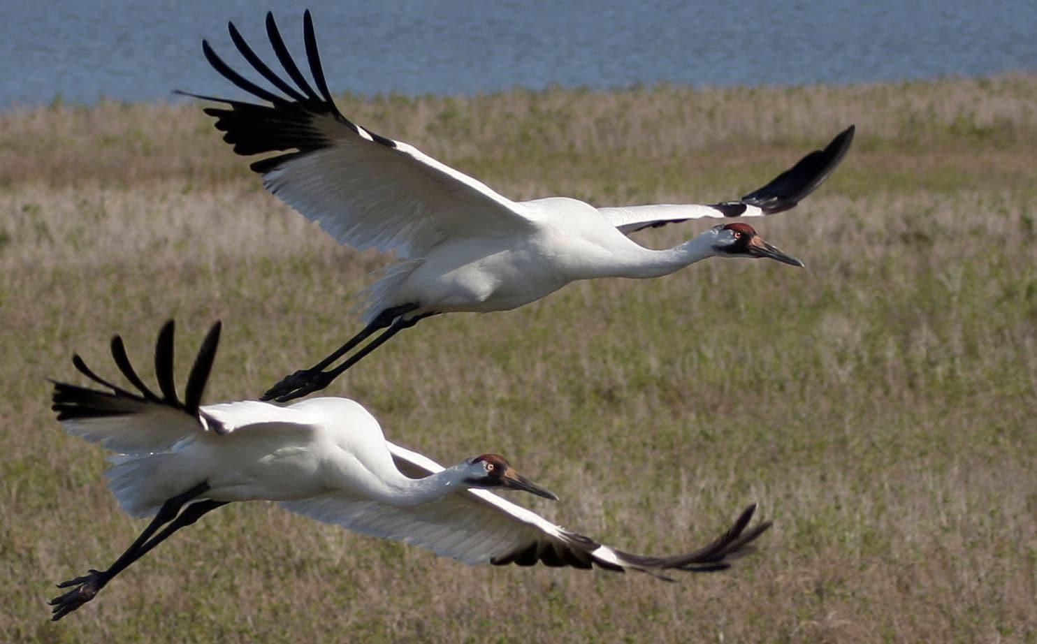 50 year whooping crane