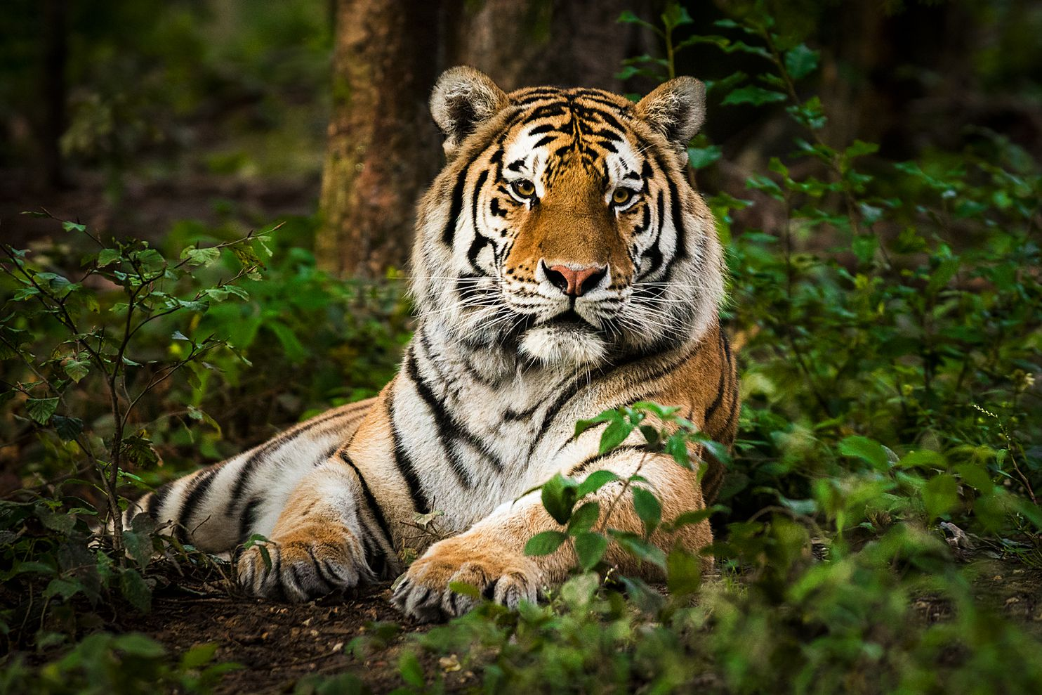 houston tiger found in