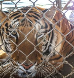 tiger farms in laos fuel demand for tiger parts on black market washington post [ 1248 x 832 Pixel ]