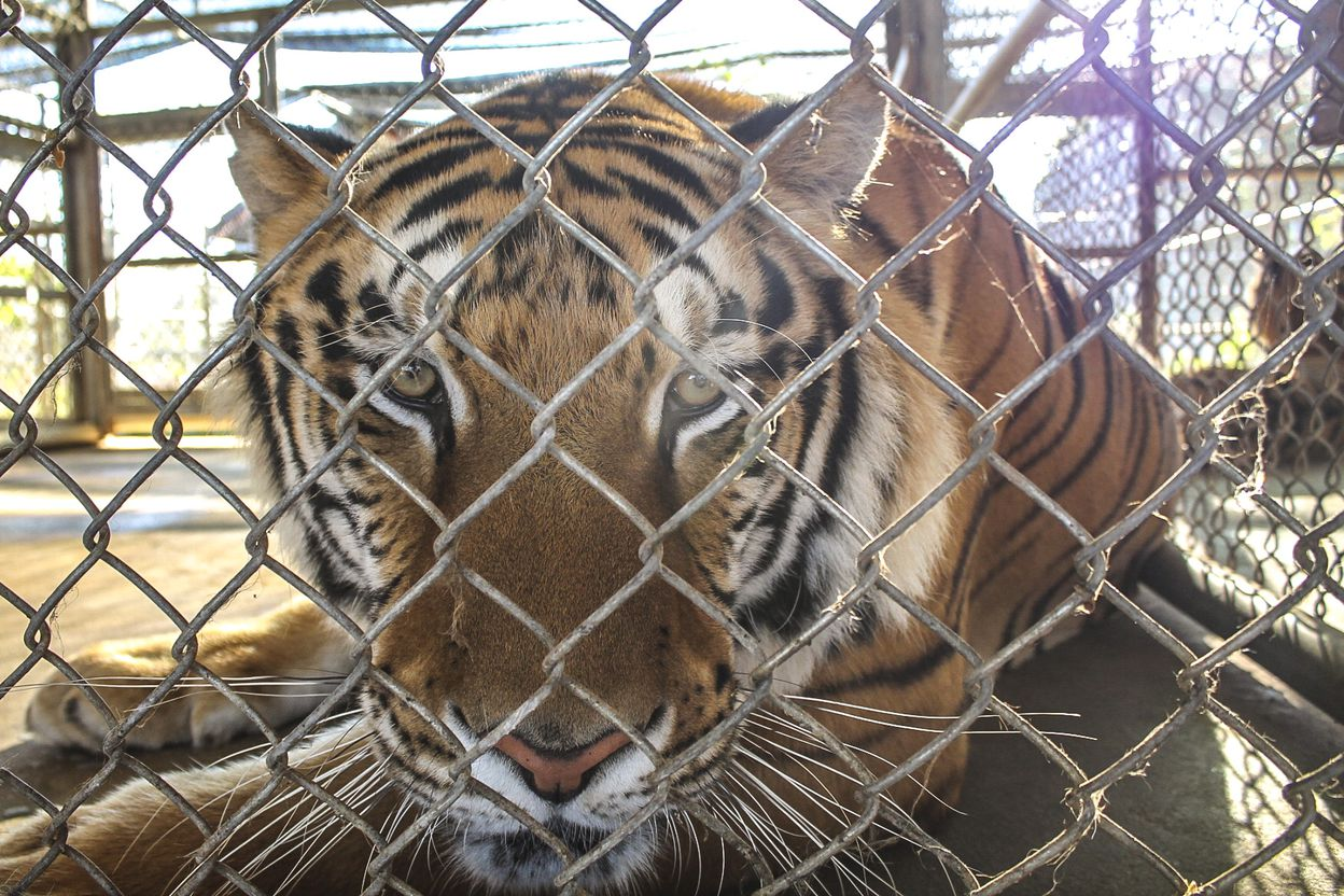 hight resolution of tiger farms in laos fuel demand for tiger parts on black market washington post