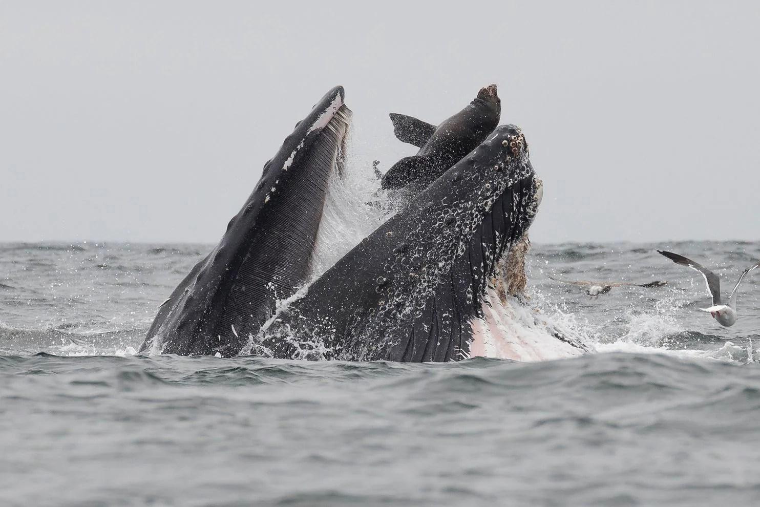 rare photo captures humpback