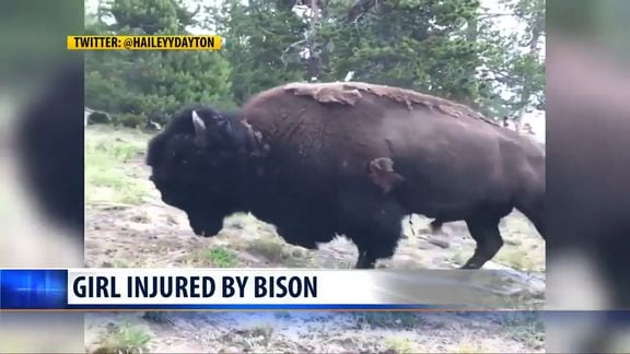 yellowstone bison tosses 9
