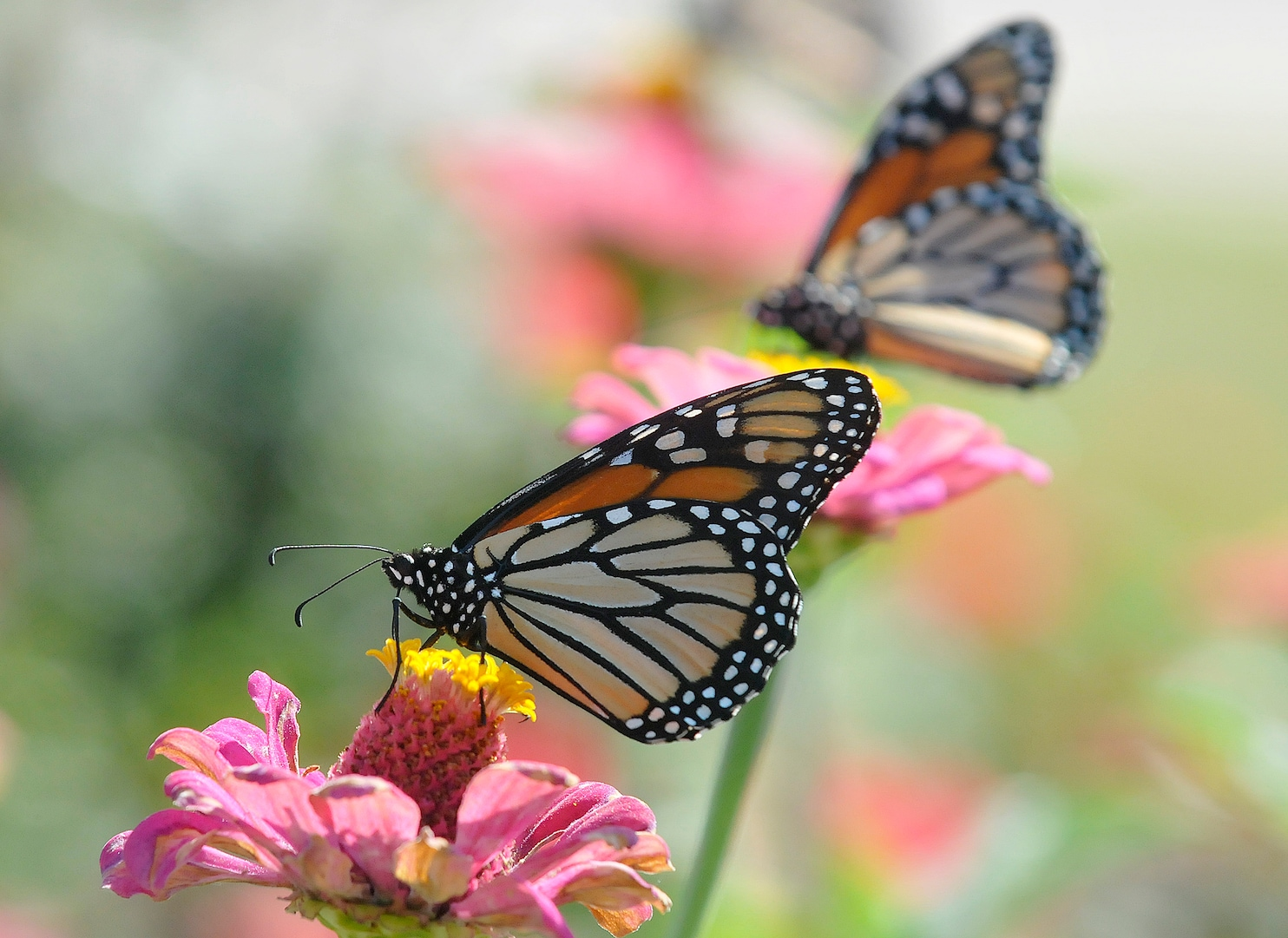 The years first monarch butterflies are entering Mexico