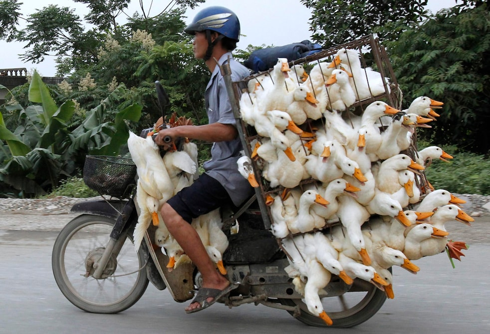 A man transports ducks on a motorcycle to a market in Nam Ha province, outside Hanoi May 31, 2012. REUTERS/Kham (VIETNAM - Tags: ANIMALS SOCIETY TPX IMAGES OF THE DAY)