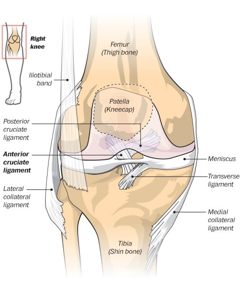 Ligaments work to allow the knee to bend forward while limiting its ability to rotate and flex side-to-side. On the play in which Robert Griffin III was hurt, the lower half of his knee makes both of those movements to excess, suggesting an injury to the anterior cruciate ligament.