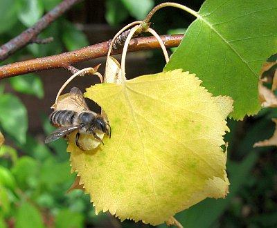 Blattschneiderbiene2012_2.jpg