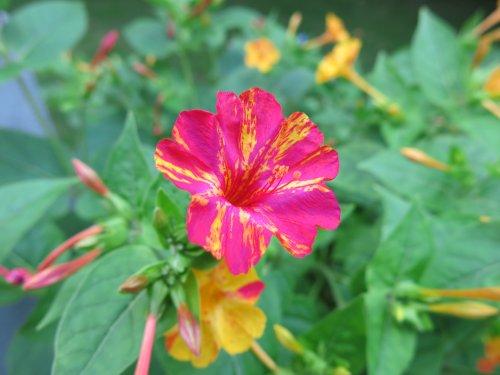 WunderblumeGelbPink2014.jpg
