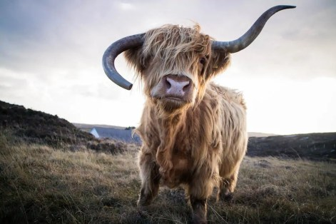 Highland Cow on Coll