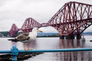 A seagull sitting in front of the Forth Bridge