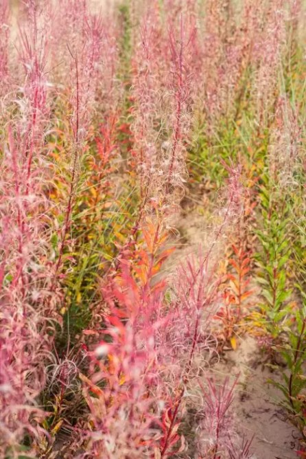 Colourful plants in the dunes of Newburgh beach.
