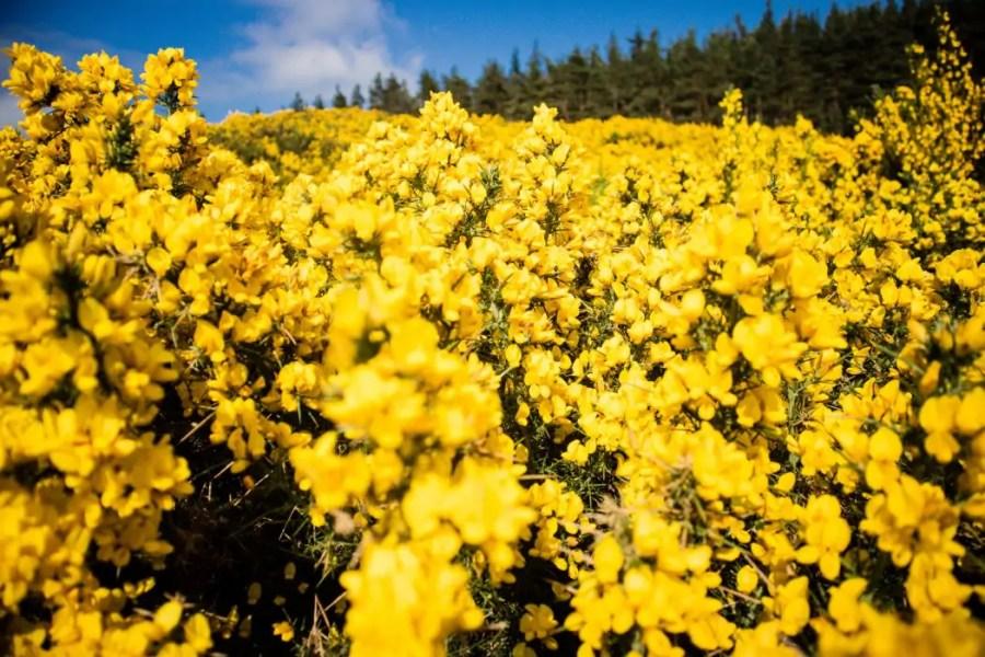 Bright yellow gorse in the Speyside region in Scotland.
