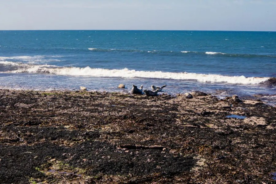 A local seal colony by Portgordon on the Moray Coast.