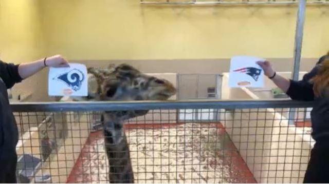 Giraffe chooses winner_1549056043706.JPG_69985468_ver1.0_640_360_1549117138436.jpg.jpg