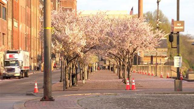 cherry blossom trees web_1553961302823.jpg_79823215_ver1.0_640_360_1553963324957.jpg.jpg
