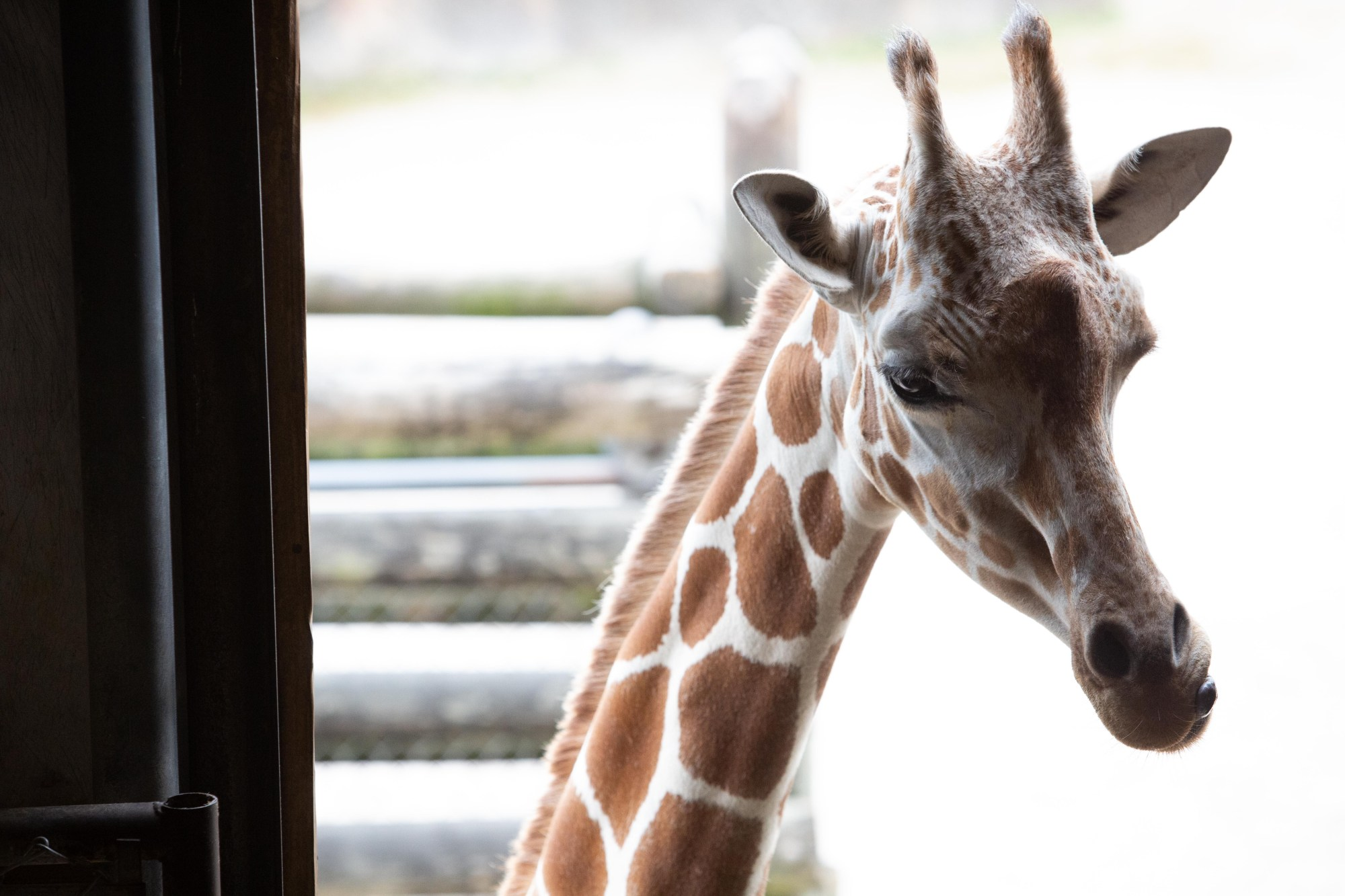 Zoo Knoxville said Friday, June 21, 2019, that Frances, a three-year-old giraffe, is exhibiting signs that she is in the final stages of pregnancy and should give birth within a few weeks.