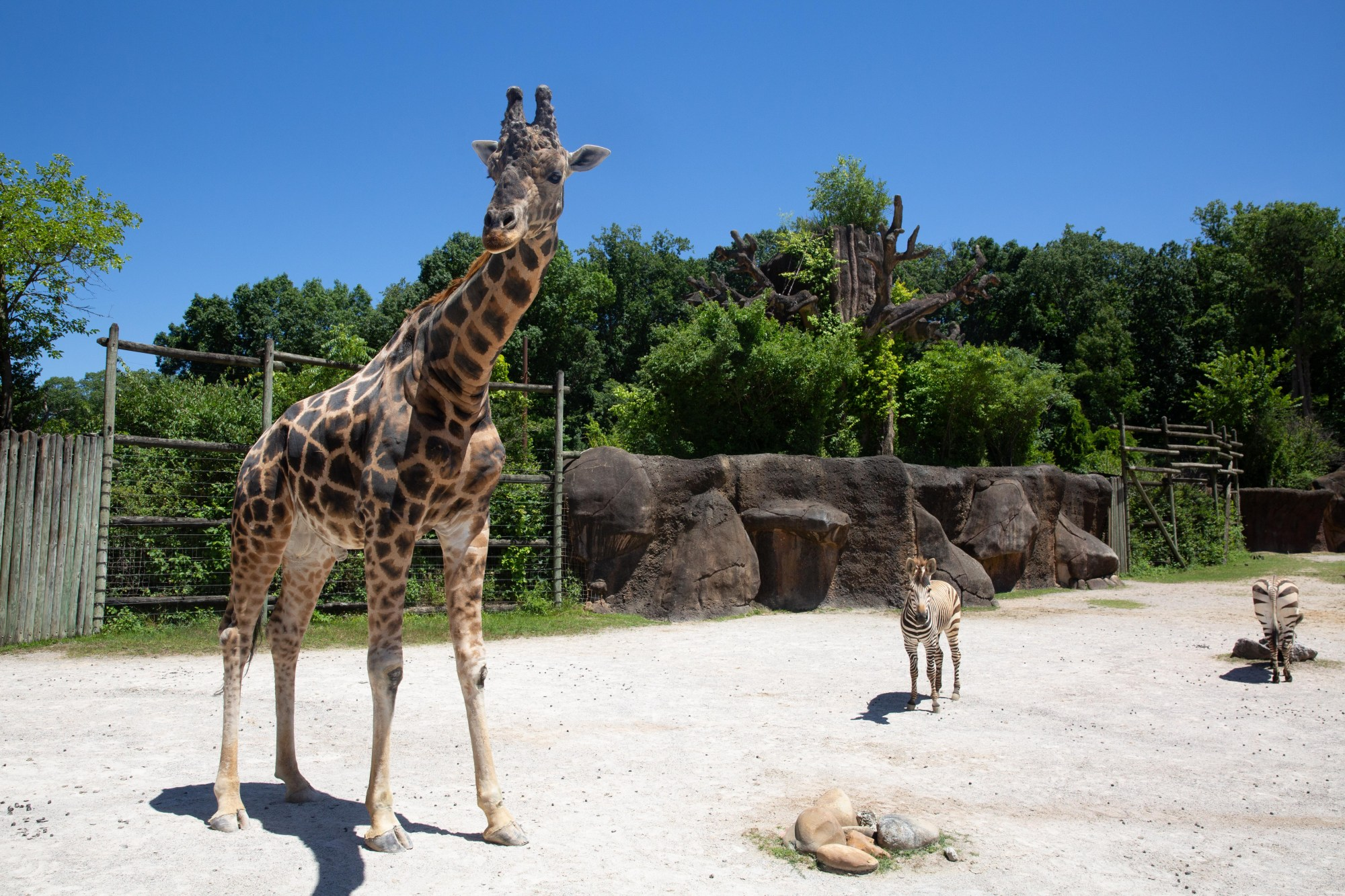 Zoo Knoxville's 16-year-old male giraffe, Jumbe. (Zoo Knoxville photo)