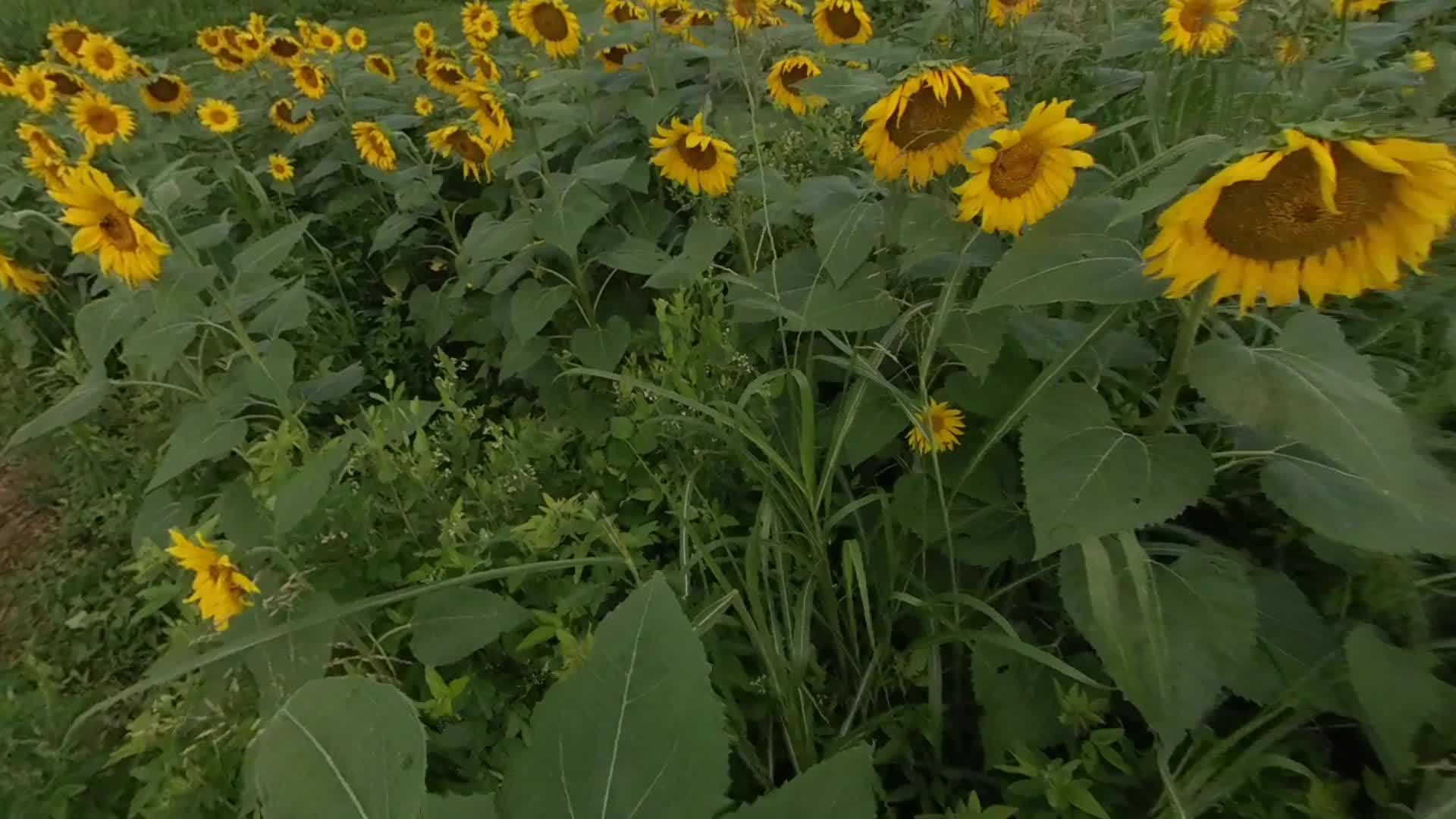 Sunflowers at the Forks of the River Wildlife Management Area on Thursday, July 11, 2019. (Jack Lail / WATE)