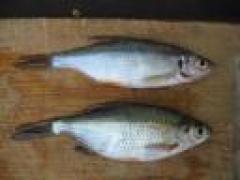 Voor de visfreaks: Winde, Rietvoorn of Kolblei? (Dood moeten ze allemaal)