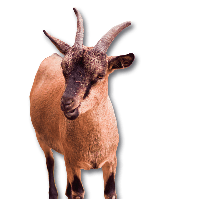 goat yoga water and