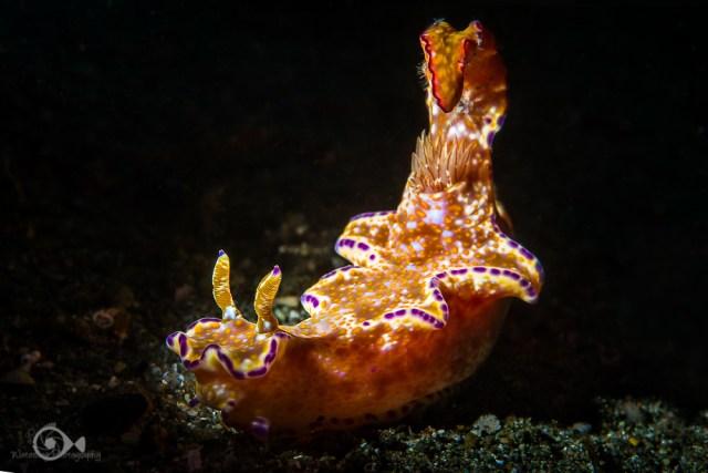 Many-Lobed Ceratosoma image created with a fiber optic snoot