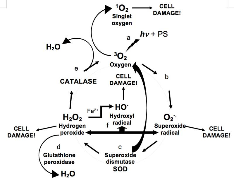 Catalase And Hydrogen Peroxide Balanced Equation