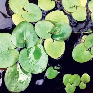 Amazon Frogbit (Limnobium laevigatum)