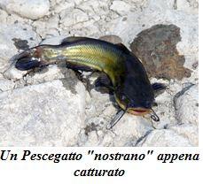 pesce gatto 2