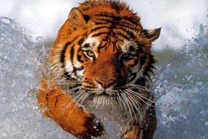 l43-tigre-acqua-120923003519_big